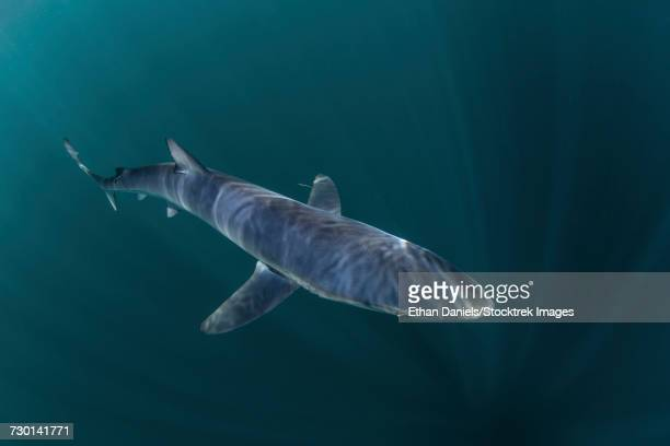 A sleek blue shark swimming in the waters off Cape Cod, Massachusetts.