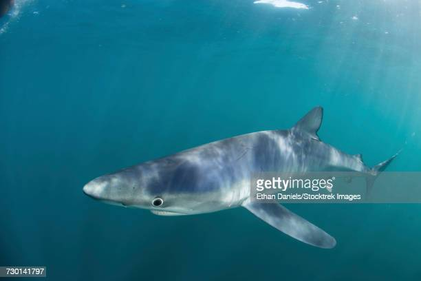 A sleek blue shark swimming in the waters off Cape Cod, Massachusetts.