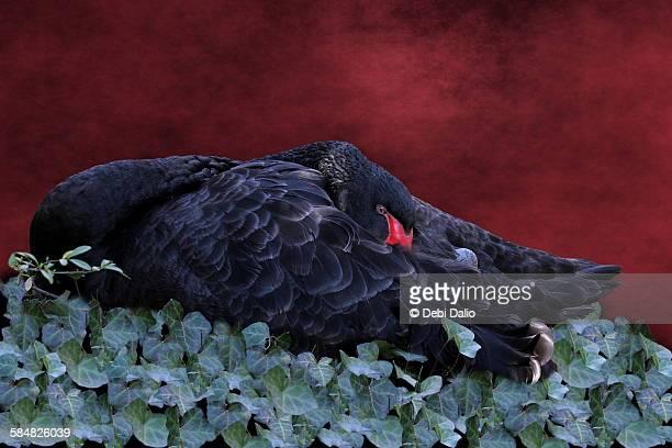 Sleeping Black Swan on Bed of Ivy