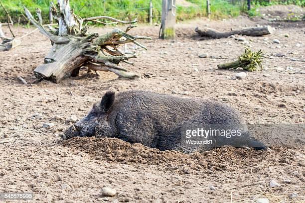 Sleeping boar, Sus scrofa