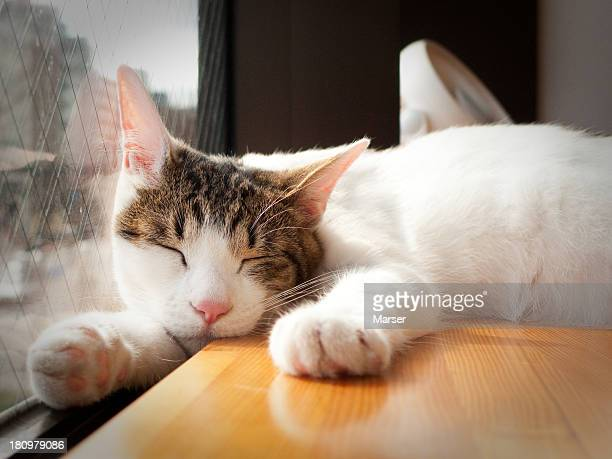 sleeping cat by the window