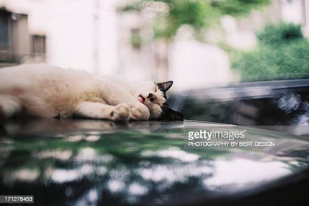 Sleeping Cat on car hood