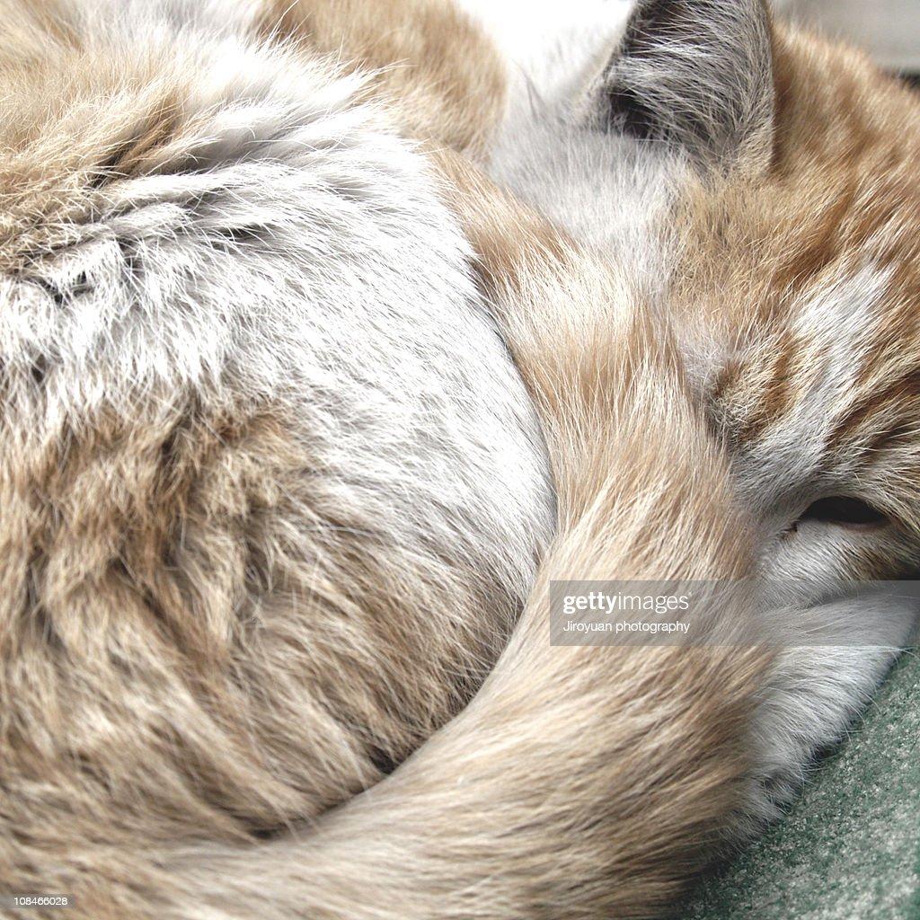 sleeping cat : Stock Photo
