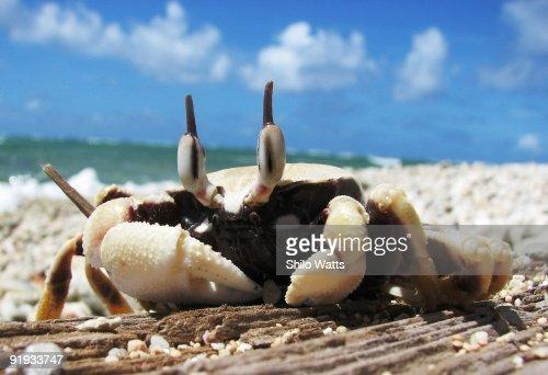 Sleeping crab on  beach