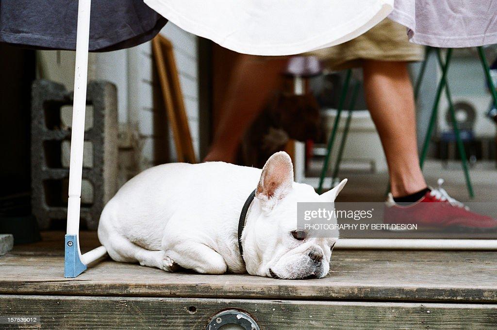 Sleeping Dog : Stock Photo