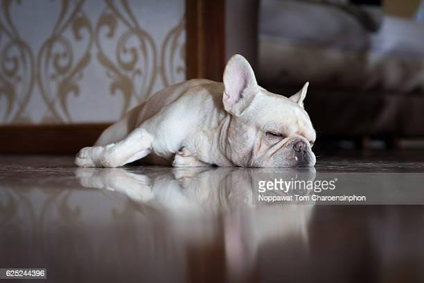 Sleeping French Bulldog