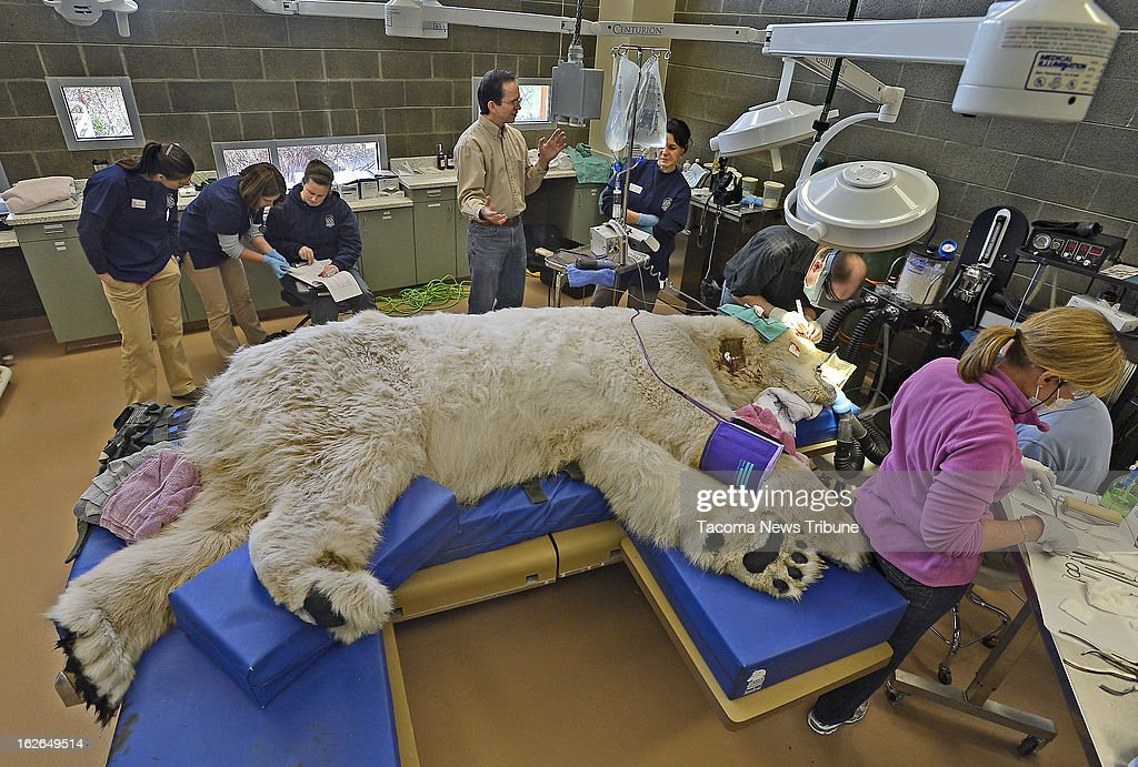 A sleeping giant, Boris the Polar bear underwent a full physical exam Saturday, February 23, 2013 at the Point Defiance Zoo & Aquarium's animal hospital in Tacoma, Washington, as a team of veterinarians, technicians and staff also performed a root canal and some minor eye surgery on the 27-year-old polar bear.