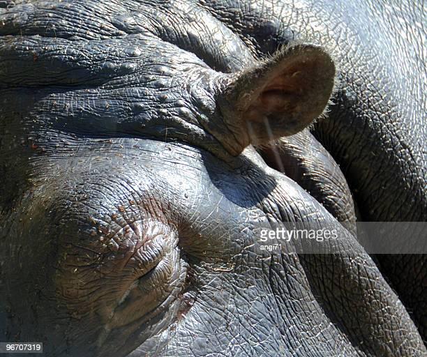 Schlafen hippo