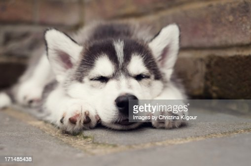 Sleeping Husky Puppy