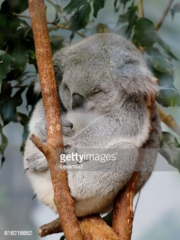 sleeping koala : Stockfoto