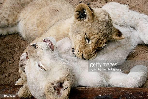 Sleeping lion cubs