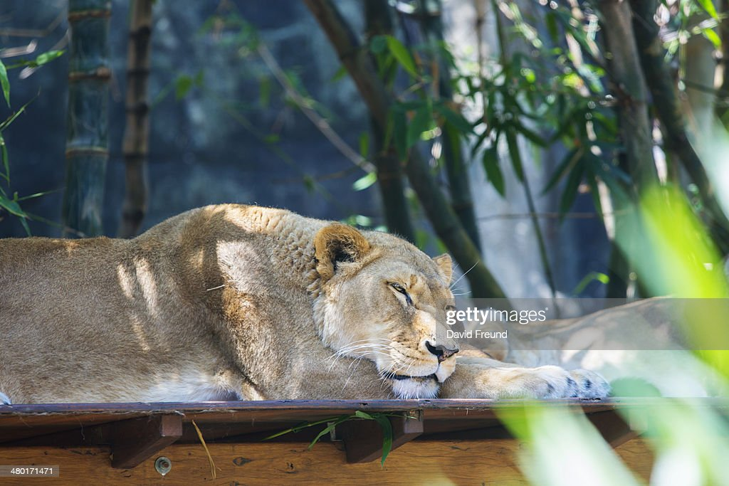 Sleeping Lion : Stock Photo