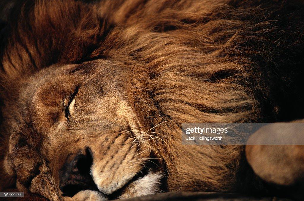 Sleeping Lion : Stock Photo
