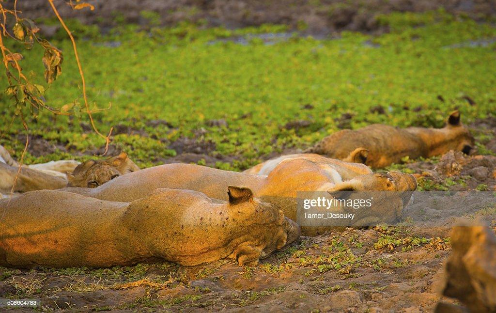 Dormir lions : Foto de stock
