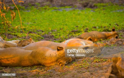 sleeping lions : Stock Photo