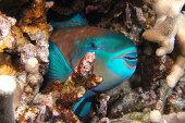 Sleeping parrotfish - night dive 4/20/12