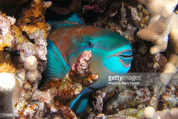 Sleeping parrotfish - night dive 4/20/12