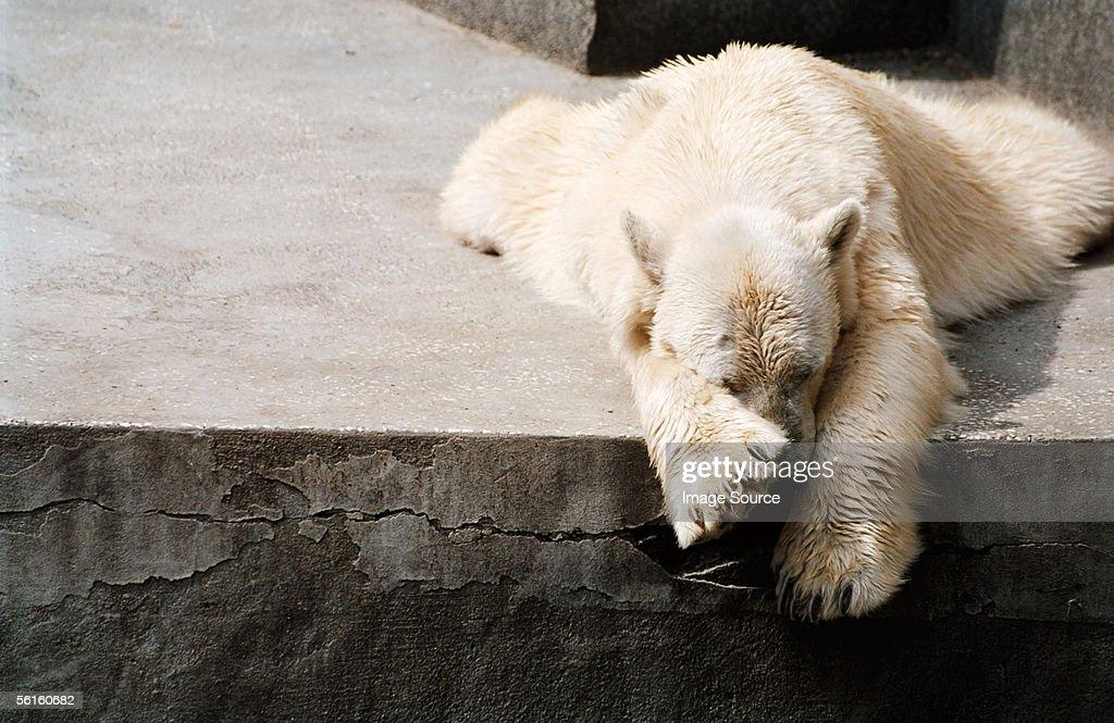 Sleeping polar bear : Stock Photo