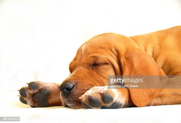 Sleeping puppy with white paws