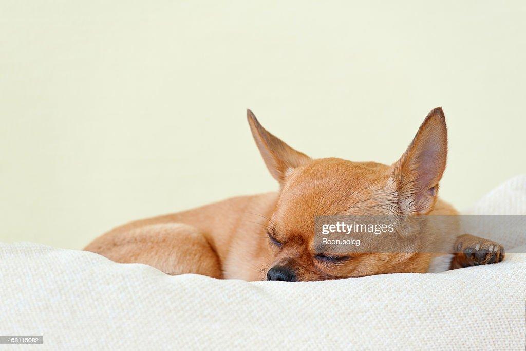 Chambre Rouge Chien Chihuahua Sur Fond Beige. : Photo