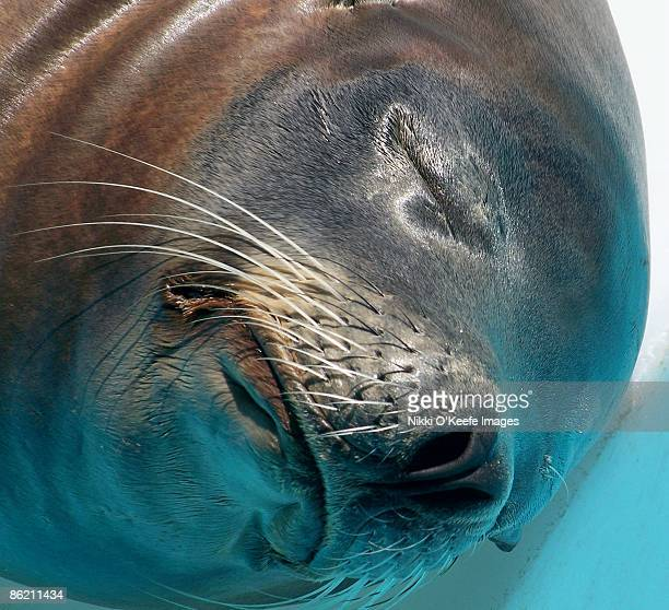 Sleeping Sea Lion Close-Up