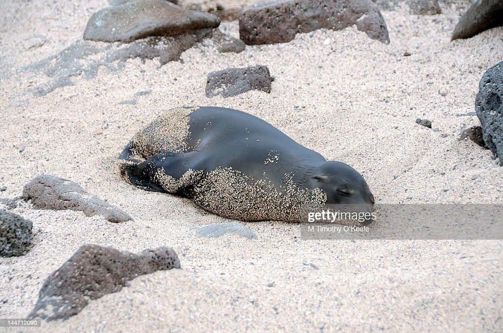 Sleeping Sea Lion Sand  Covered : Stock Photo
