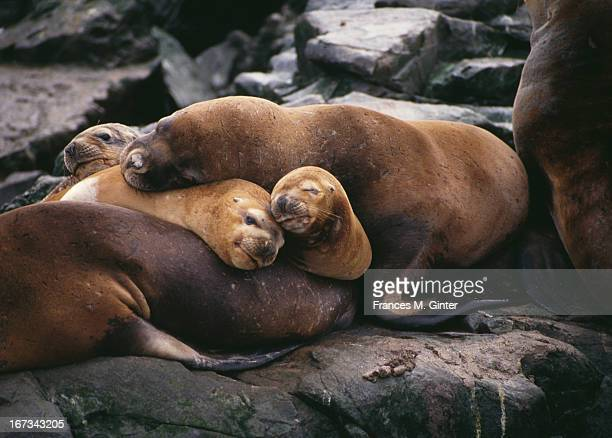 Sleeping sea lions Patagonia Chile March 1994