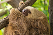 A photograph of a sloth while sleeping