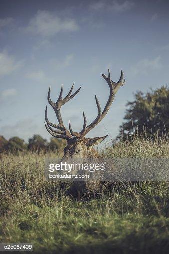 Sleeping stag : Stock Photo