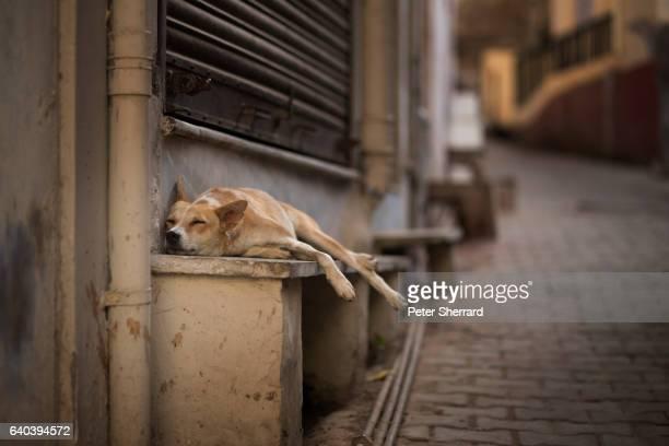A sleeping street dog, Pushkar, India