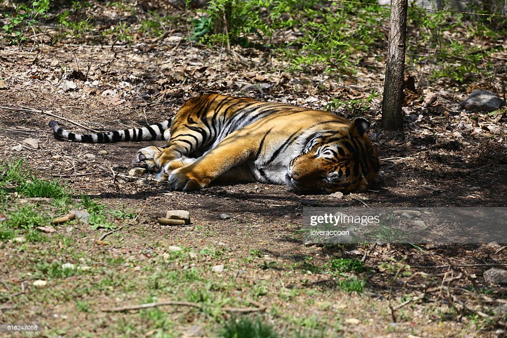 Sleeping tiger : Stock Photo