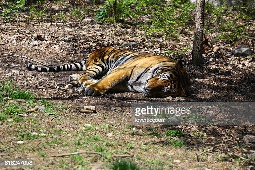 Sleeping-tigre : Foto de stock