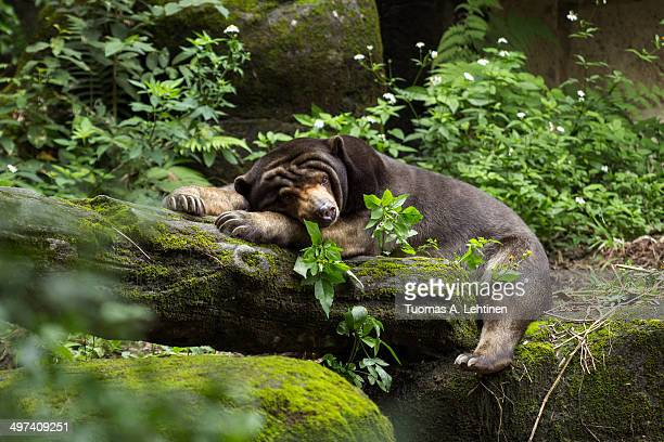 Sleepy Asian black bear lying on a log