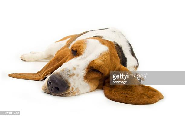 Sleepy basset hound laying on a white surface