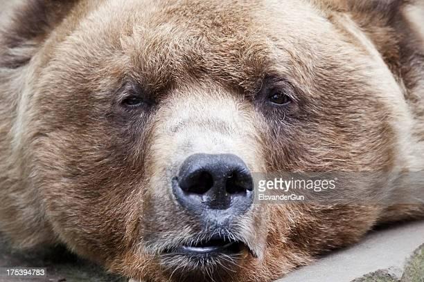 Sleepy brown bear close-up