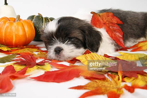 Sleepy Fall Puppy