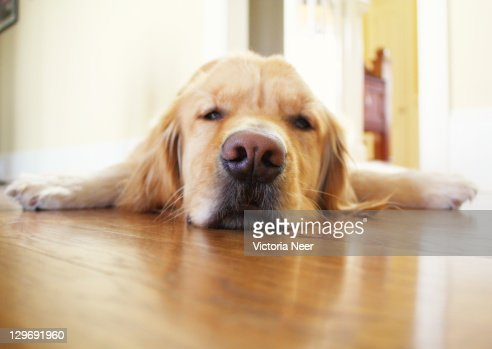 Sleepy golden Retriever puppy : Stock Photo