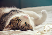 Domestic Cat, Tabby Cat, Animal, Mixed-Breed Cat, Purebred Cat