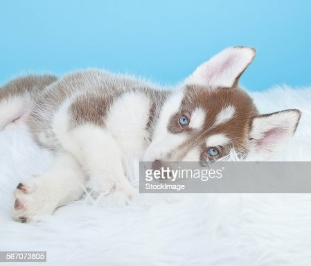 Sleepy husky puppy
