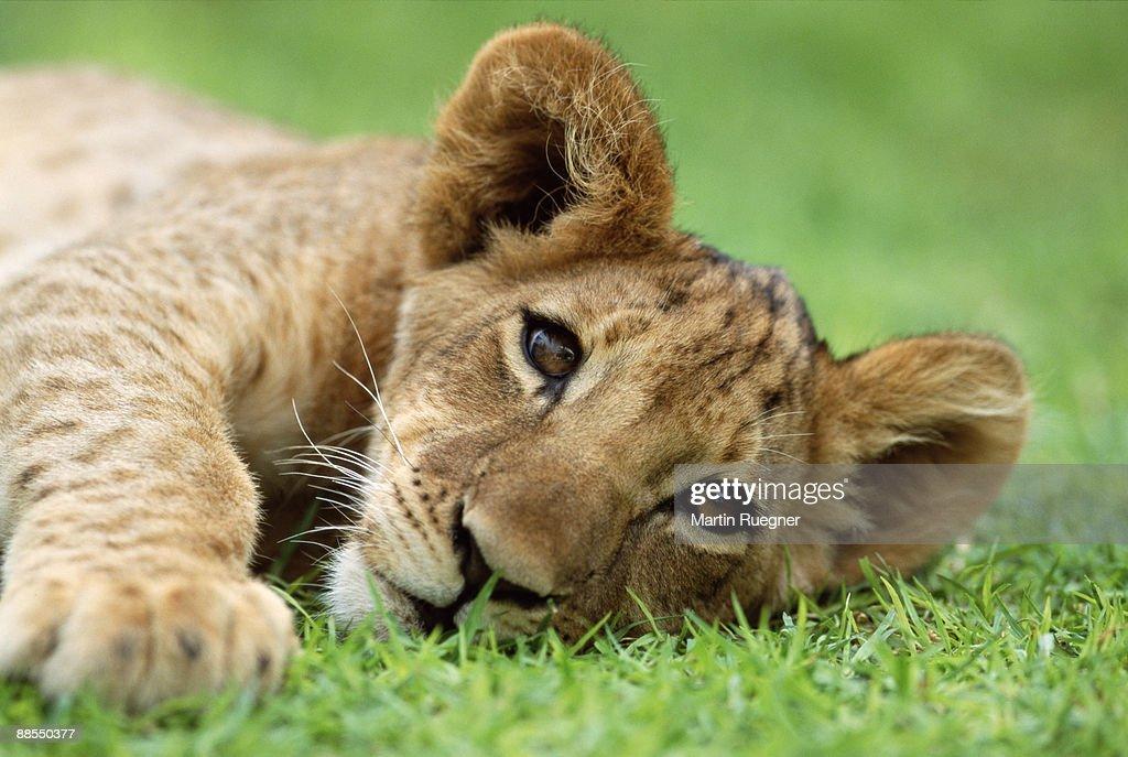 Sleepy lion cub : Stock Photo