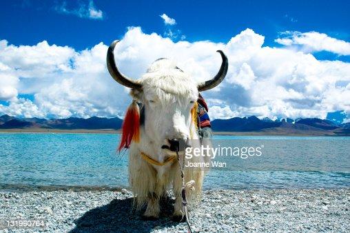 Sleepy yak in Tibet