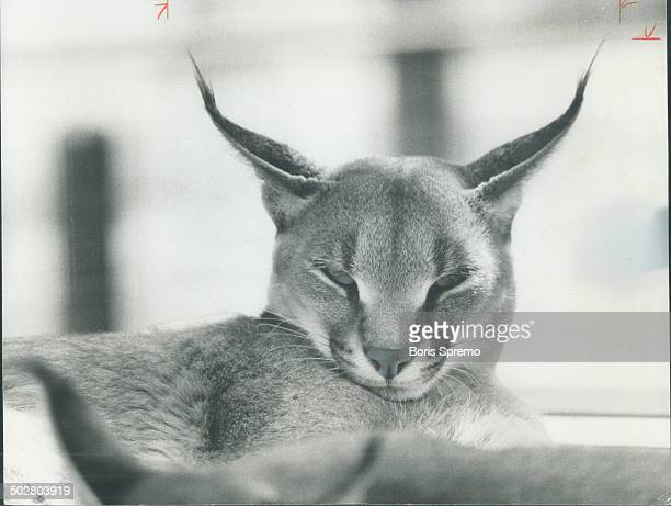 Sleepyeyed lynx with its distinctive long pointed ears shares one characteristic with cats all over the world big and small wild and domestic They...
