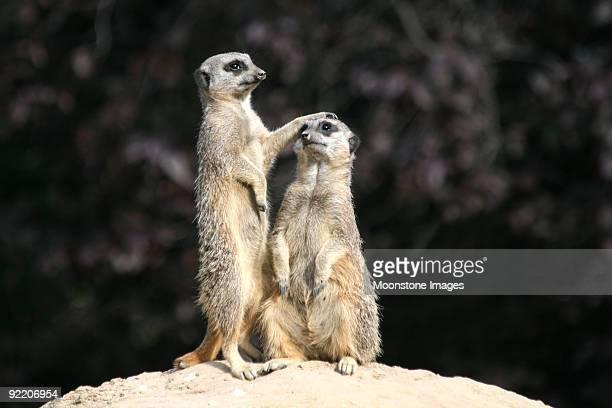 Slender tailed Meerkats