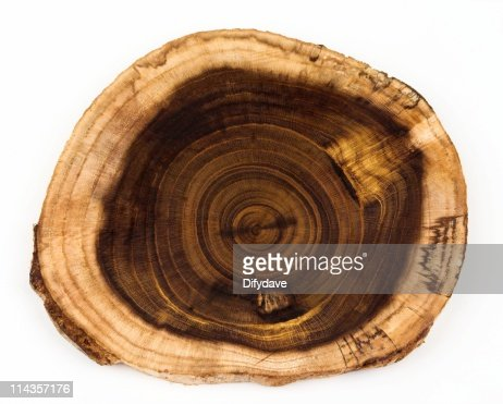 Slice From Laburnum Log Showing Concentric Growth Rings