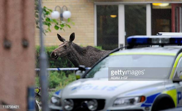 A slightly injured moose makes it's way to freedom after breaking into the 'Brunnsgarden' geriatric care facility in Alingsas east of Goteborg Sweden...