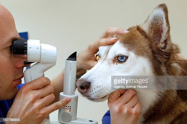 slitlamp examination in a Husky on OCTOBER 18 2012 in Nuernberg Germany