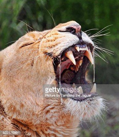 Sloberry lioness