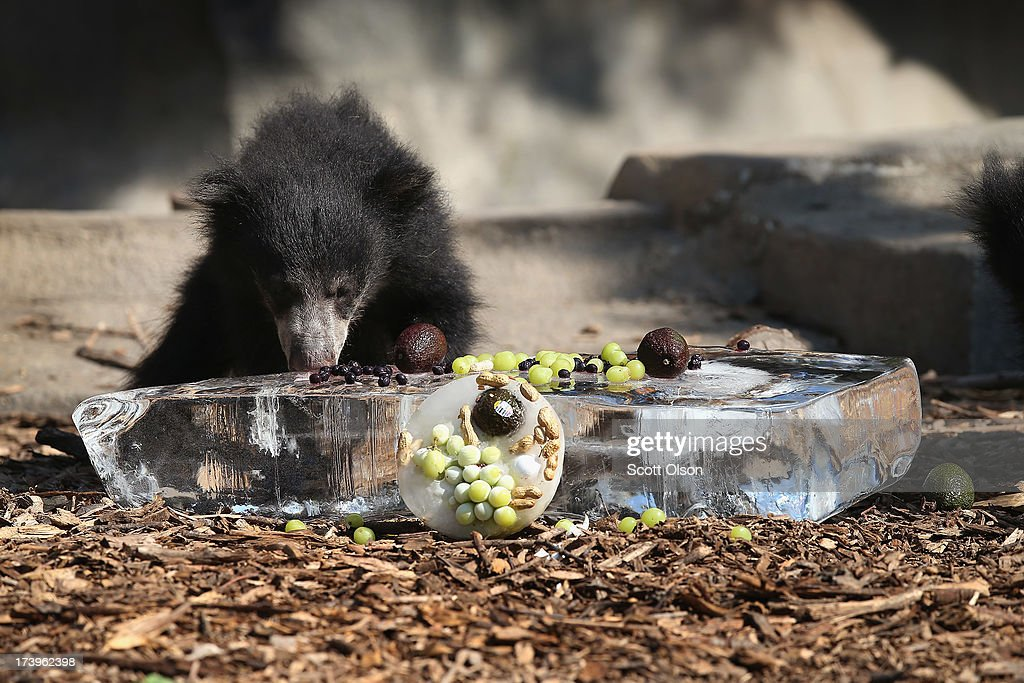 A sloth bear cub gets a treat of fruit served on a block of ice to help him stay cool in his enclosure at Brookfield Zoo on July 18, 2013 in Brookfield, Illinois. A heat wave continues to grip much of the country today with temperatures expected to top 90 degrees in forty-seven states.