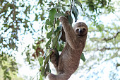 Sloth climbing tree in nature reserve in BrazilSloth climbing tree in nature reserve in Brazil