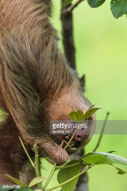 Sloth eating leaves